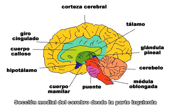 ¿Dónde se localiza la inteligencia verbal lingüística en el cerebro?